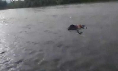 Mayat Perempuan Yang Ditemukan di Sungai Mandailing Natal, Diduga Terpeleset saat Menyeberang