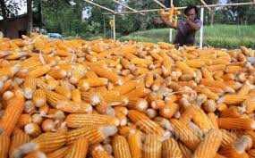 Tahun Ini, NTB Targetkan 2,6 Ton Produksi Jagung