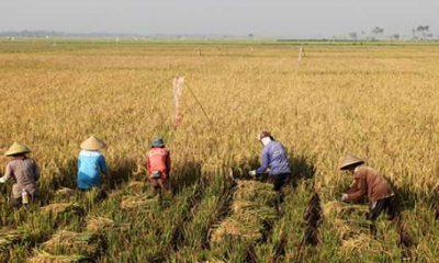Sejahterakan Petani, Kementan Harapkan Bulog Serap Penuh Panen Padi Petani