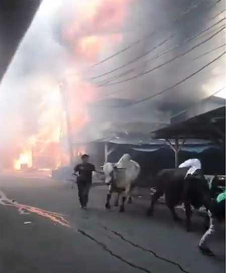 Saat Pasar Kambing Terbakar, Heboh Sapi Berhamburan