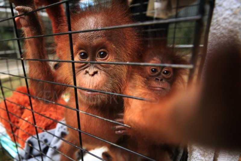 Dua Ekor Orang Utan Sumatera Selundupan Dipindahkan ke Jambi