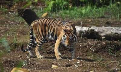 Warga Desa Sitaratoit Tapsel Ketakutan Dengan Munculnya Harimau Di Perkebunan Warga