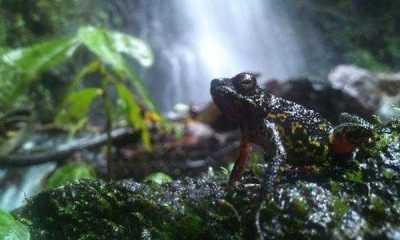 Litoria Lubisi, Spesies Katak Jenis Baru Dari Papua