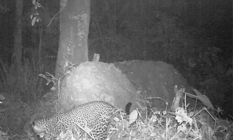 Munculnya Macan Tutul Jawa di Gunung Sanggabuana Karawang Telah Lengkapi Kajian