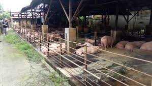 Masyarakat Desa Portibi Lama Minta Pemda Tutup PT Maharkata Peternakan Babi